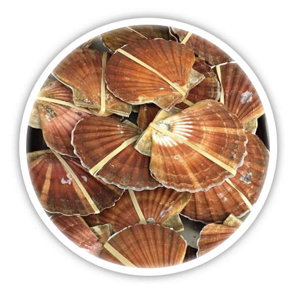 Pembrokeshire scallops, hand dived straight off the boat off the pembrokeshire coast in south west wales - King Scallops available in two sizes